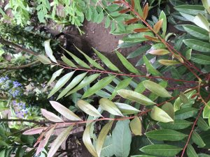 Plant with long thin leaves that are green and red