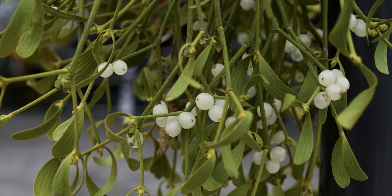 Mistletoe Extract – Viscum album – (VA-E) – Iscador Cancer Treatment