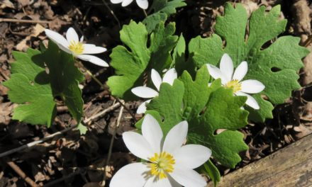 Black Salve – Bloodroot (Sanguinaria canadensis)  – Black Drawing Salve for Cancer