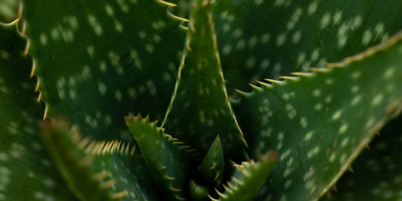 Aloe Arborescens for Cancer