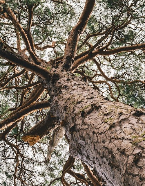 Pau d'Arco (Lapachol/Tabebuia Impetiginosa) and Its Effects on Parkinson's Disease, Multiple Sclerosis, Amyotrophic Lateral Sclerosis (Lou Gehrig's Disease) and Lewy Body Dementia