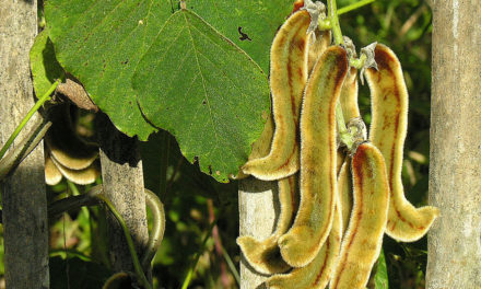 Mucuna pruriens for Treatment of NPSLE (Neuropsychiatric Systemic Lupus Erythematosus)