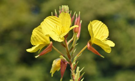 Effective Cure for Menopausal Hot Flashes: Evening Primrose Oil
